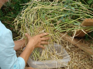 lorna harvest kale