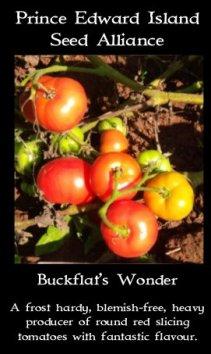 tomato buckflat's wonder