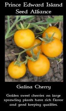 tomato Galina cherry