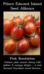 tomator-pink-bumblebee