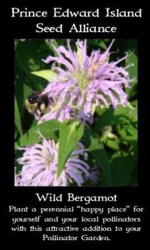 wild-bergamot