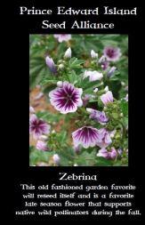 zebrina